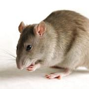 Уничтожение мышей, Алматы, в Алматы