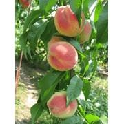 Саженцы персика. Сорт средний Пушистый фото