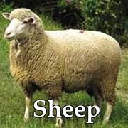 Продам Стадо овец фото