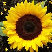 Гибриды семян подсолнечника под ЕВРОЛАЙТИНГ (Сlearfield) фото