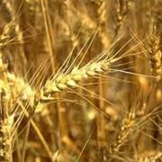 Зерно (зерновые) фото