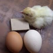 Инкубационное яйцо несушки фото