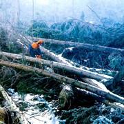 Валка леса и санитарная рубка деревьев фото