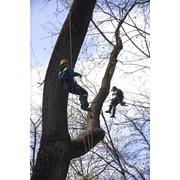 Спил деревьев - Минск, Минская область, Беларусь фото