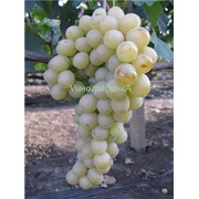 Саженцы винограда (сорт Италия) фото