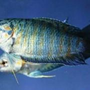 Рыбка аквариумная Золотой обыкновенный гурами