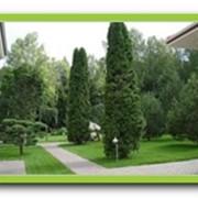 Посадка деревьев, крупномеров фото