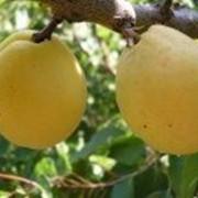 Саженцы ананасового абрикоса фото
