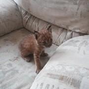 Котята сибирской рыси фото
