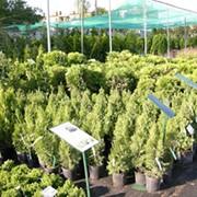 Питомник декоративных растений. фото