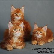 Наш питомник занимается разведением и продажей котят породы мейн кун. И в целом с ознакомлением с породой фото