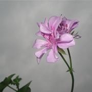 Куст ампельной герани с цветами фото