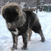Питомник кавказских овчарок фото