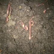 Поголовье красного калифорнийского червя фото