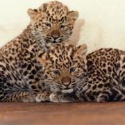 Ручные пятнистые котята леопарда фото