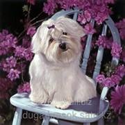 Картина по номерам Белая собачка на стуле фото