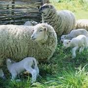 Сельскохозяйственные животные, овцы, животные, Меринос, ЧП фото