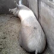 Свиноматки мясных пород, красно-поясная порода, специализированная линия фото