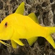 Рыба Козел Goatfish yellow small фото