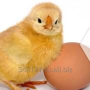 Инкубационное яйцо. Бройлер фото