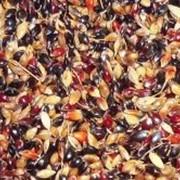 Суданская трава,семена суданки от производителя компания Добробут фото