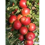 Яблоки в ассортименте ОПТОМ. Поставка товаров фото
