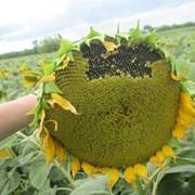Семена подсолнечника Аурис фото