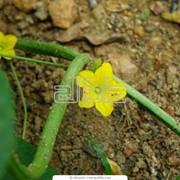 Огурцы кустовые тепличные, короткоплодные фото