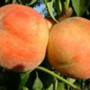 Саженцы абрикоса сорта Буревестник фото