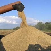 Отгрузка на автотранспорт зерновых культур фото