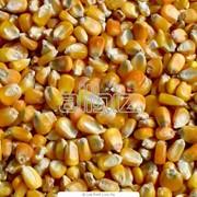 Кукуруза. Кукуруза семейства Злаки. Зерновые, бобовые и крупяные культуры фото