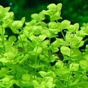 Аквариумное растение Микрантемум тенистый фото