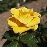 Роза Папилон (Papillon) фото