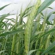 Страхование сельскохозяйственных культур фото