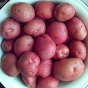 Картофель Романо фото