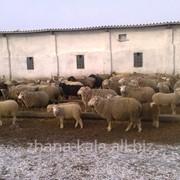 Суягные овцематки фото