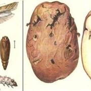 Фумигация (дезинсекция, обеззараживание) картофеля и других овощных культур в холодильниках и овощехранилищах фото