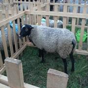 Романовские овцы-гордость отечественного овцеводства фото