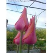 Луковицы тюльпана Темпл оф Бьюти фото