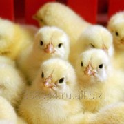 Суточный цыплёнок бройлер РОСС308 фото