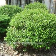 Слива Prunus laur. Otto Luyken обхват ствола 20-30