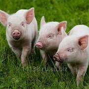 Комбикорма для свиноводства фото