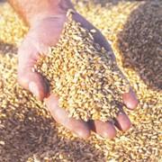 Зерновые (пшеница, ячмень, подсолнечник) фото