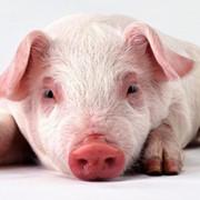 Готовий корм для свиноматок супоросних фото