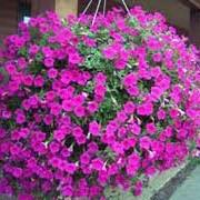 Цветы фортуния в Москве фото