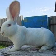 "Кролики племенные ""Бельгійський фландр"" фото"