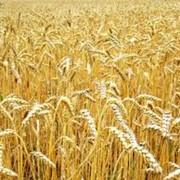 Пшеница продажа, опт Украина фото