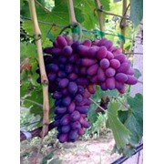 Виноград сорт КарМаКод фото
