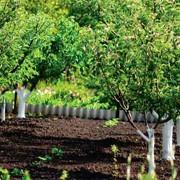 Деревья плодовые фото