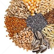 Семена масличных культур фото